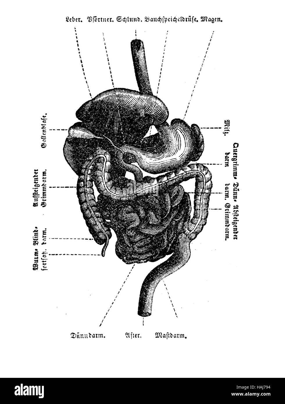 Anatomía Los órganos de la cavidad abdominal, la tabla, el grabado ...