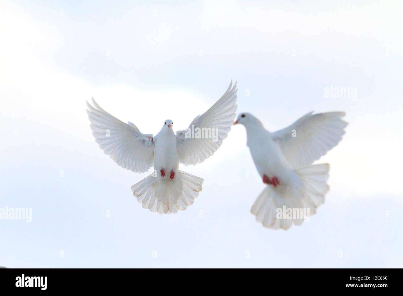 Par De Palomas Blancas Volando En El Cielo De Invierno Foto Imagen