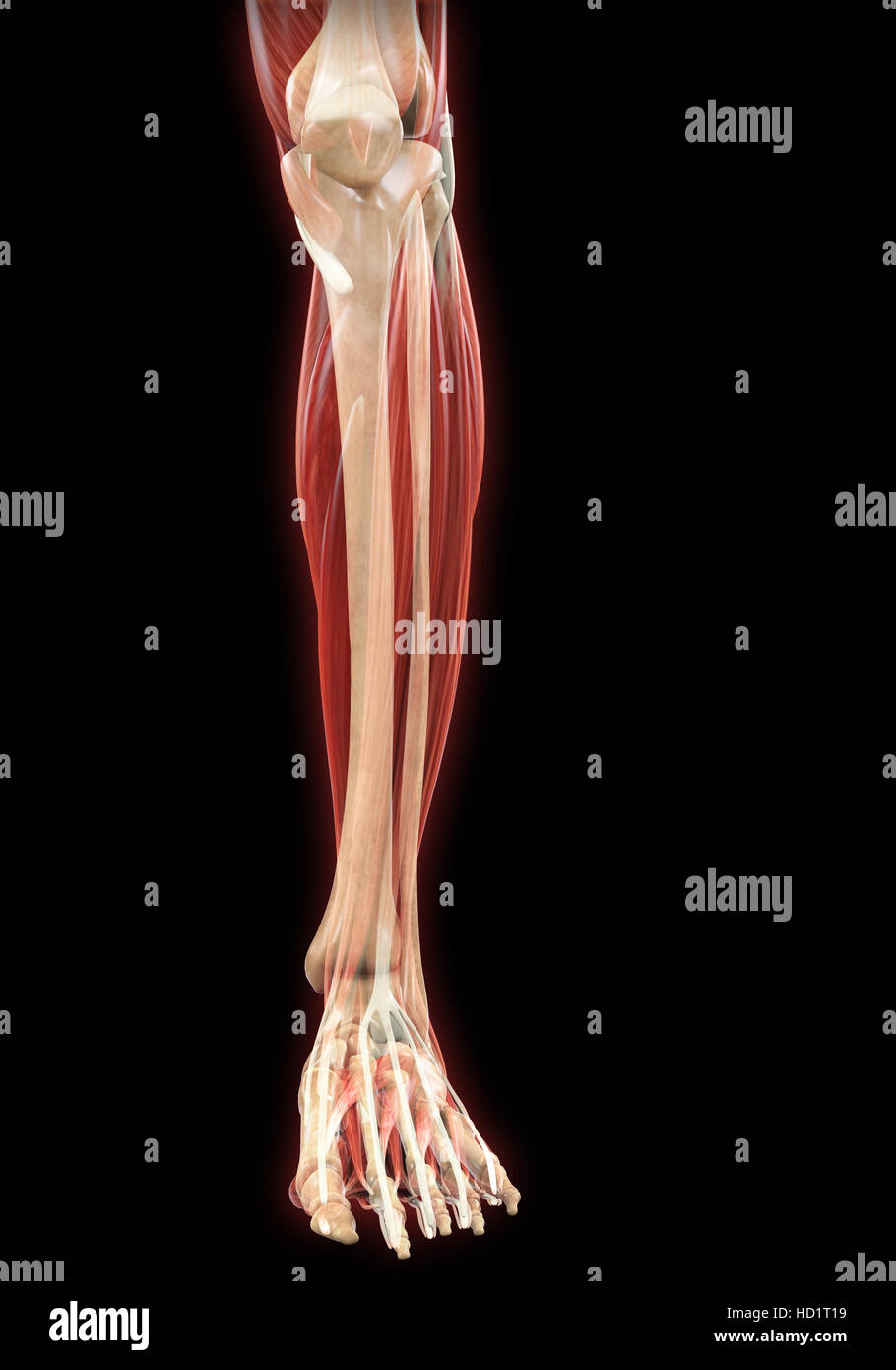 Anatomía de los músculos de las piernas Foto & Imagen De Stock ...
