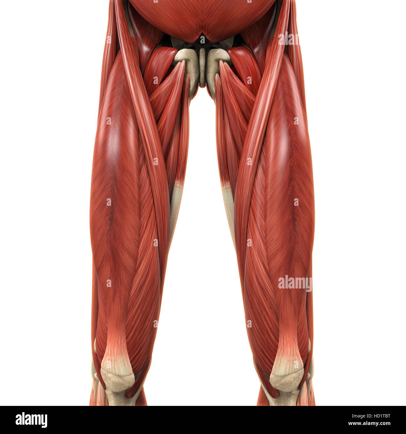 Anatomía de los músculos de la parte superior de las piernas Foto ...