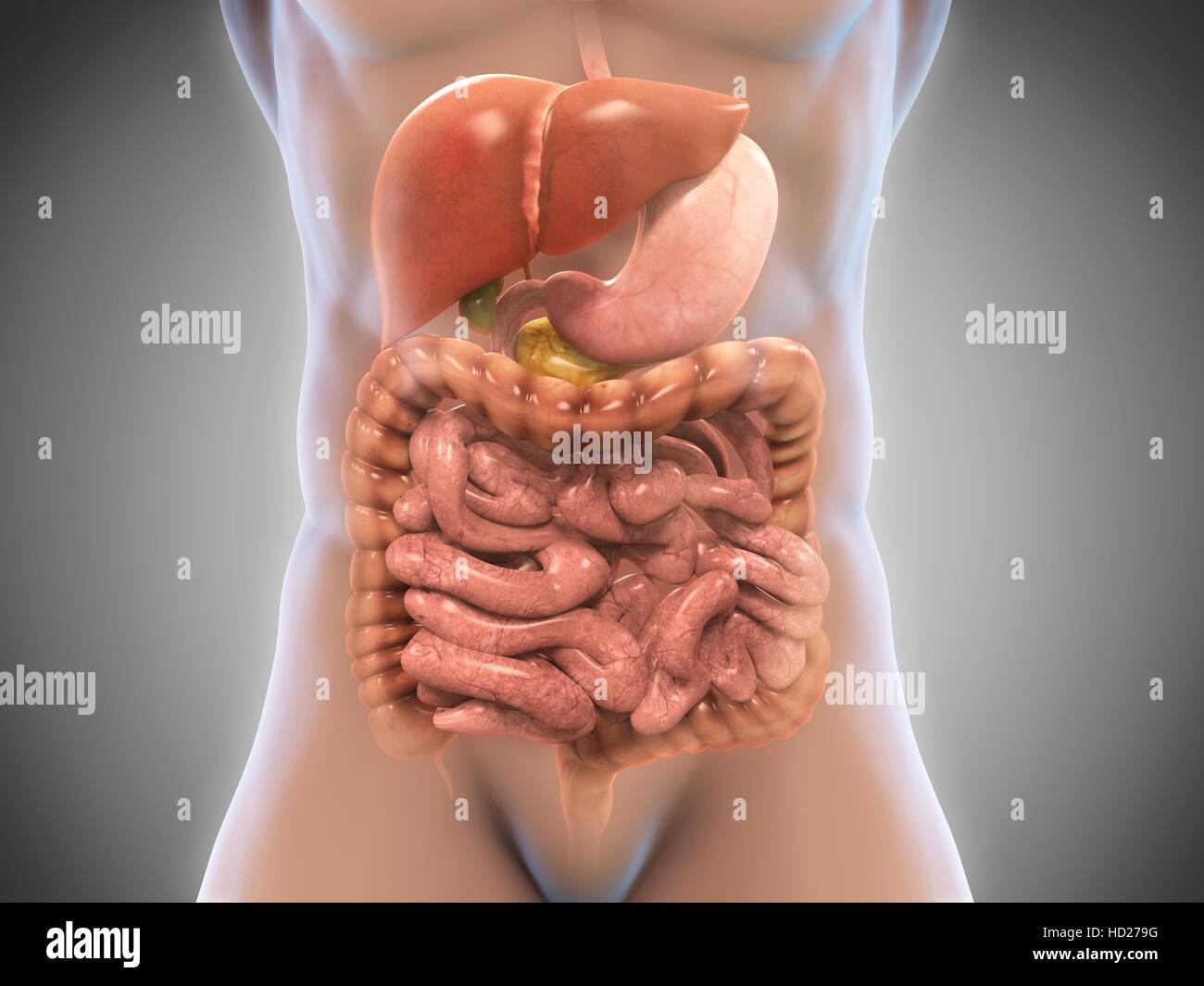 El sistema digestivo humano Foto & Imagen De Stock: 128512764 - Alamy