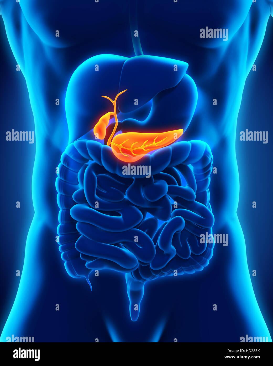 Anatomía de la vesícula biliar y el páncreas humano Foto & Imagen De ...