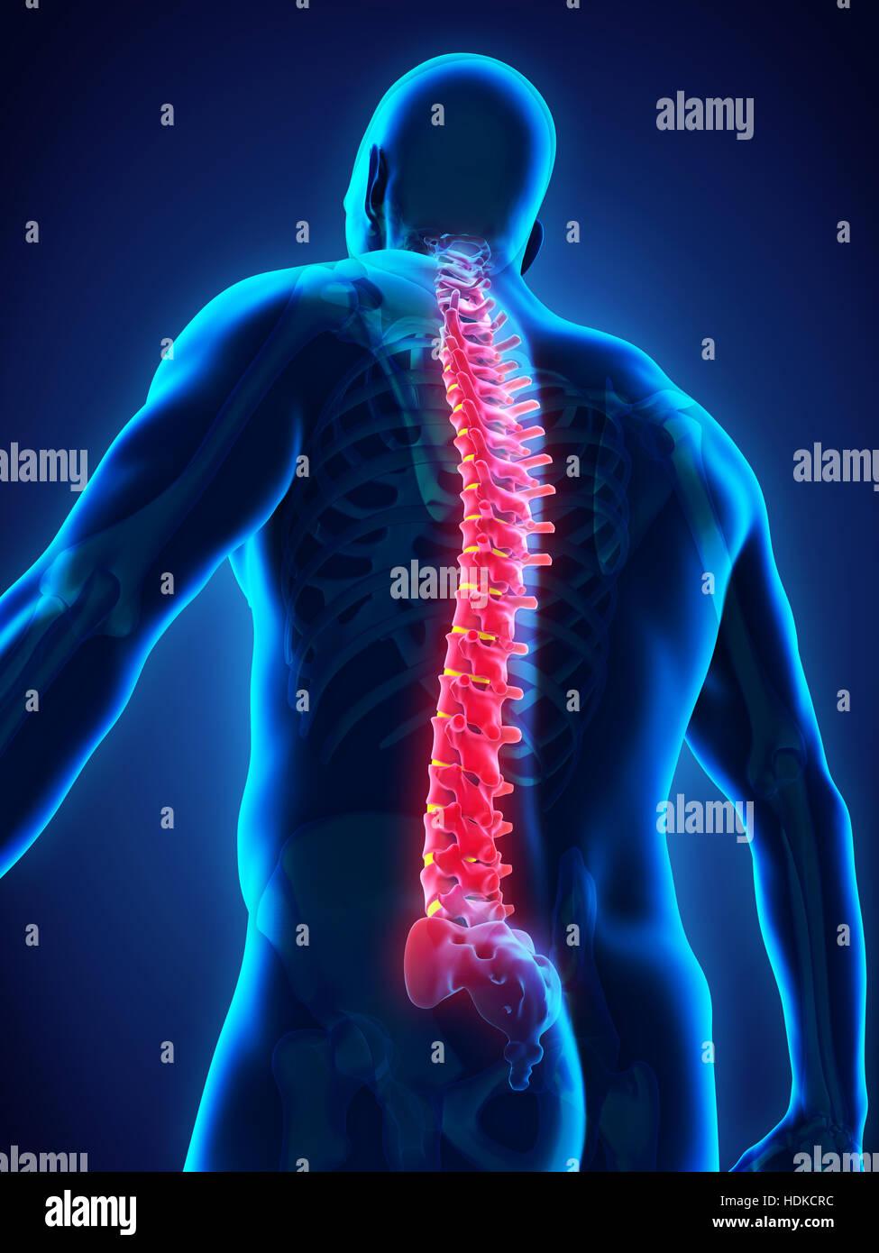 Anatomía de la columna vertebral humana Foto & Imagen De Stock ...