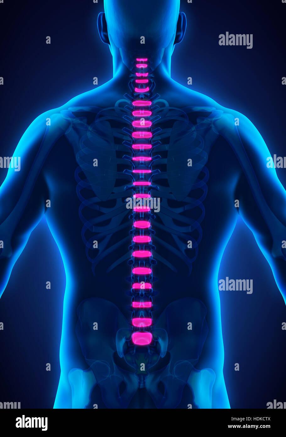 Columna vertebral Disco intervertebral Anatomía Foto & Imagen De ...