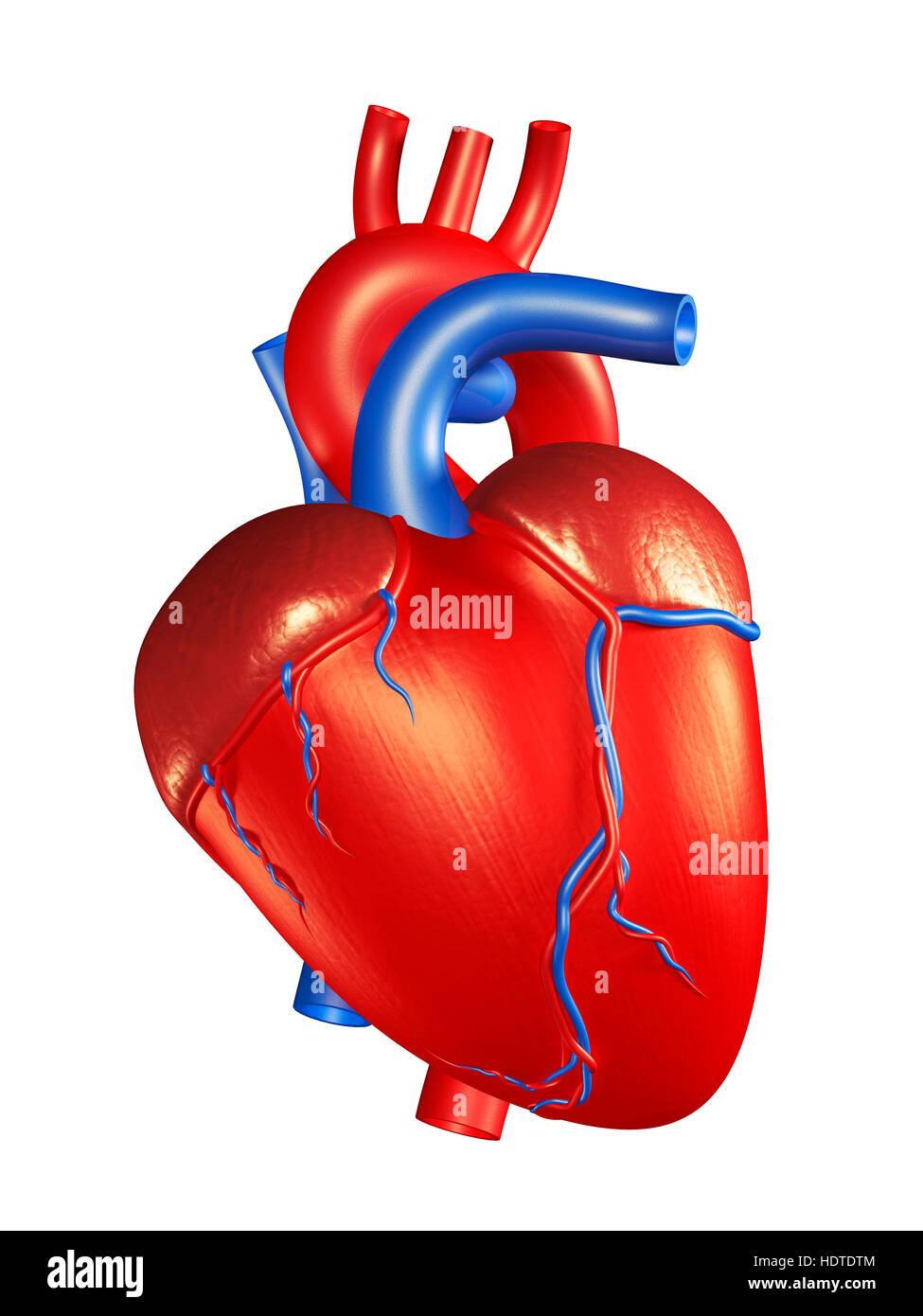 Corazón humano, ilustración 3D Foto & Imagen De Stock: 129000836 - Alamy