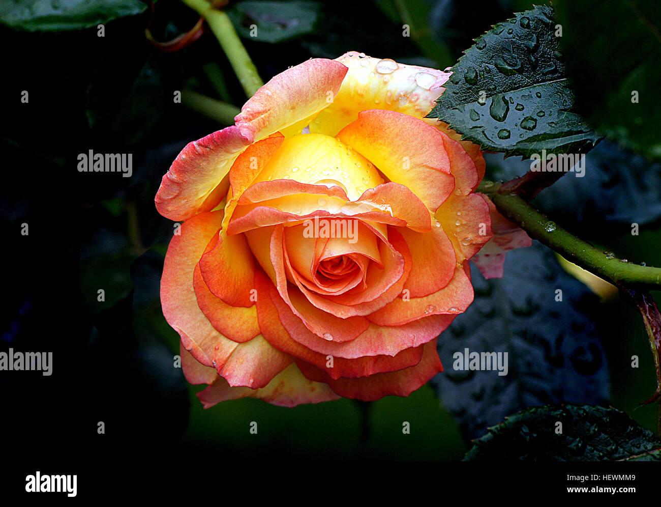 Solitaire Año 1987 Rosas De Té Híbridas Altura 4ft Más Cada Una Y