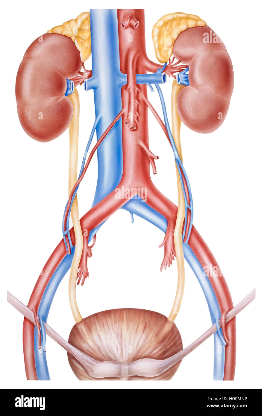 Anatomía Humana del tracto superior de los riñones y los uréteres ...