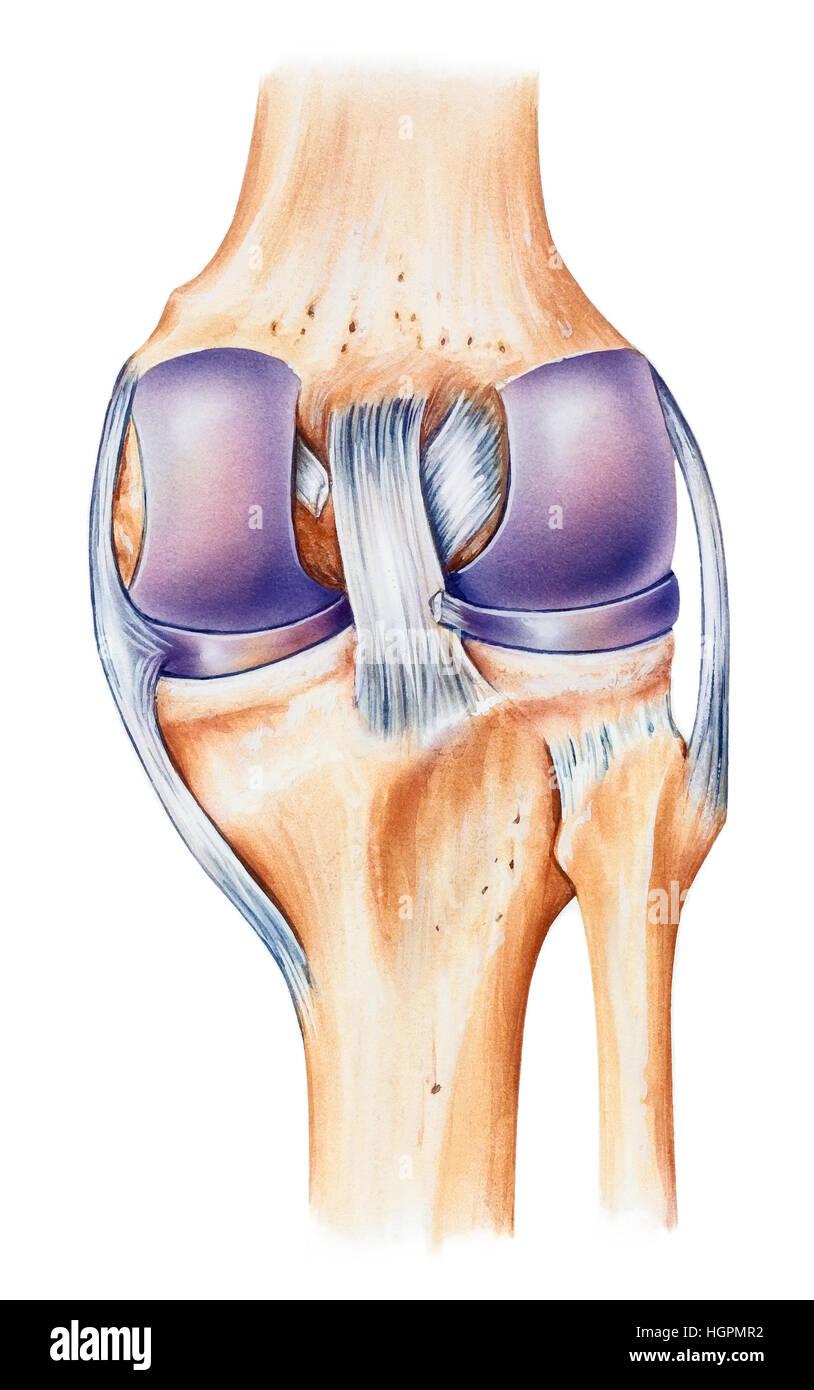 Anatomía Humana Normal de la rodilla, vista dorsal. Mostrados son el ...
