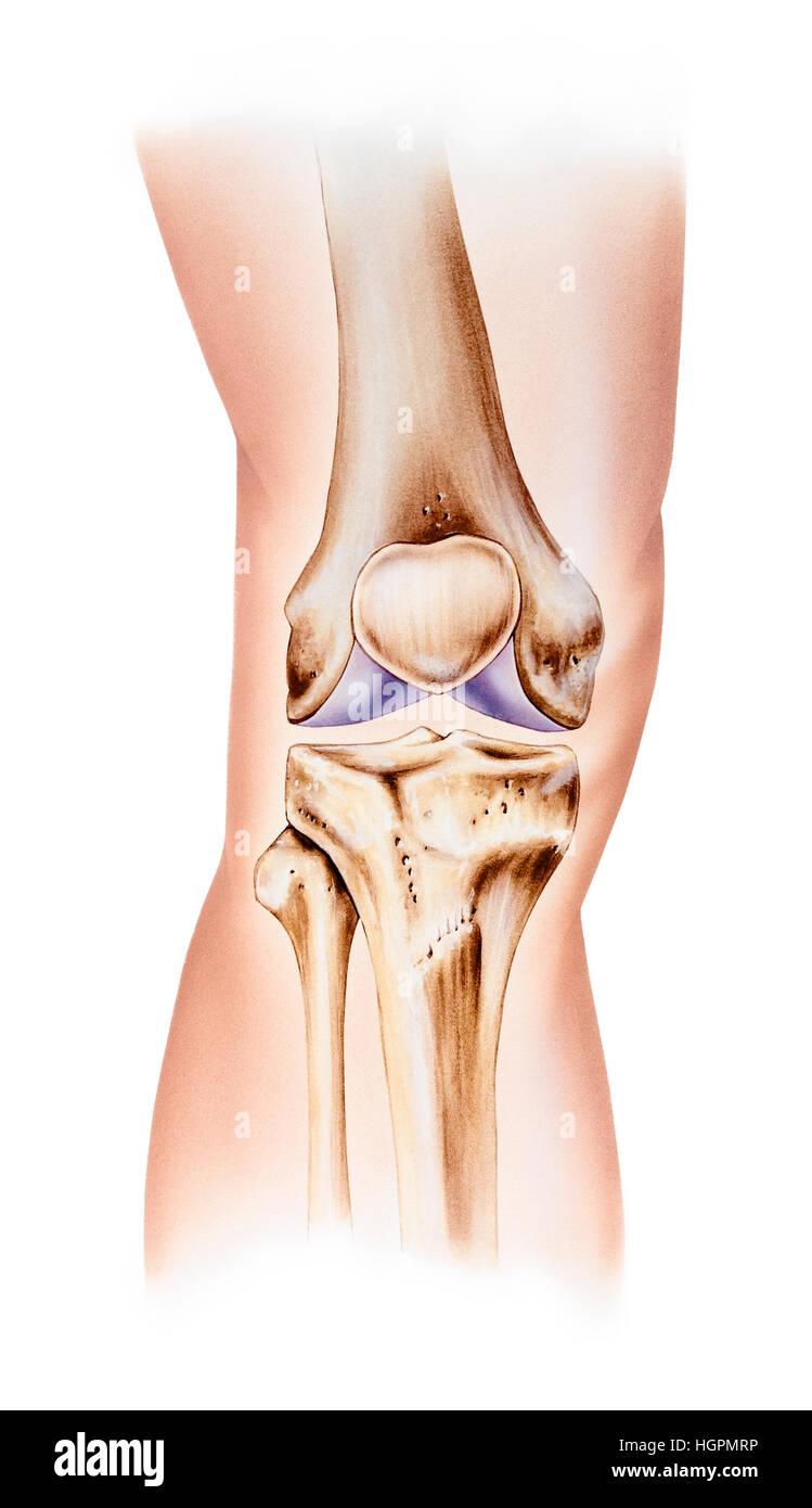 Anatomía Humana Normal de la rodilla, vista delantera. Mostrados son ...