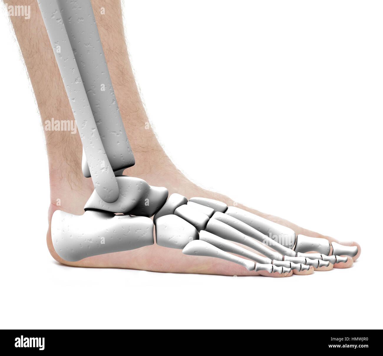 Los huesos del tobillo pie - anatomía masculina - Foto de estudio ...