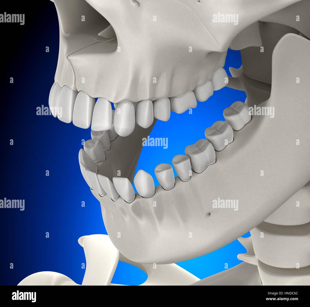 Los dientes del cráneo anatomía masculina sobre fondo azul ...
