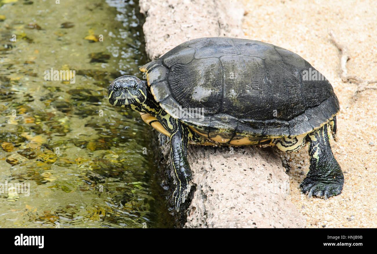 Pequeño acuario Tortuga prepara a saltar en el agua. Las tortugas ...