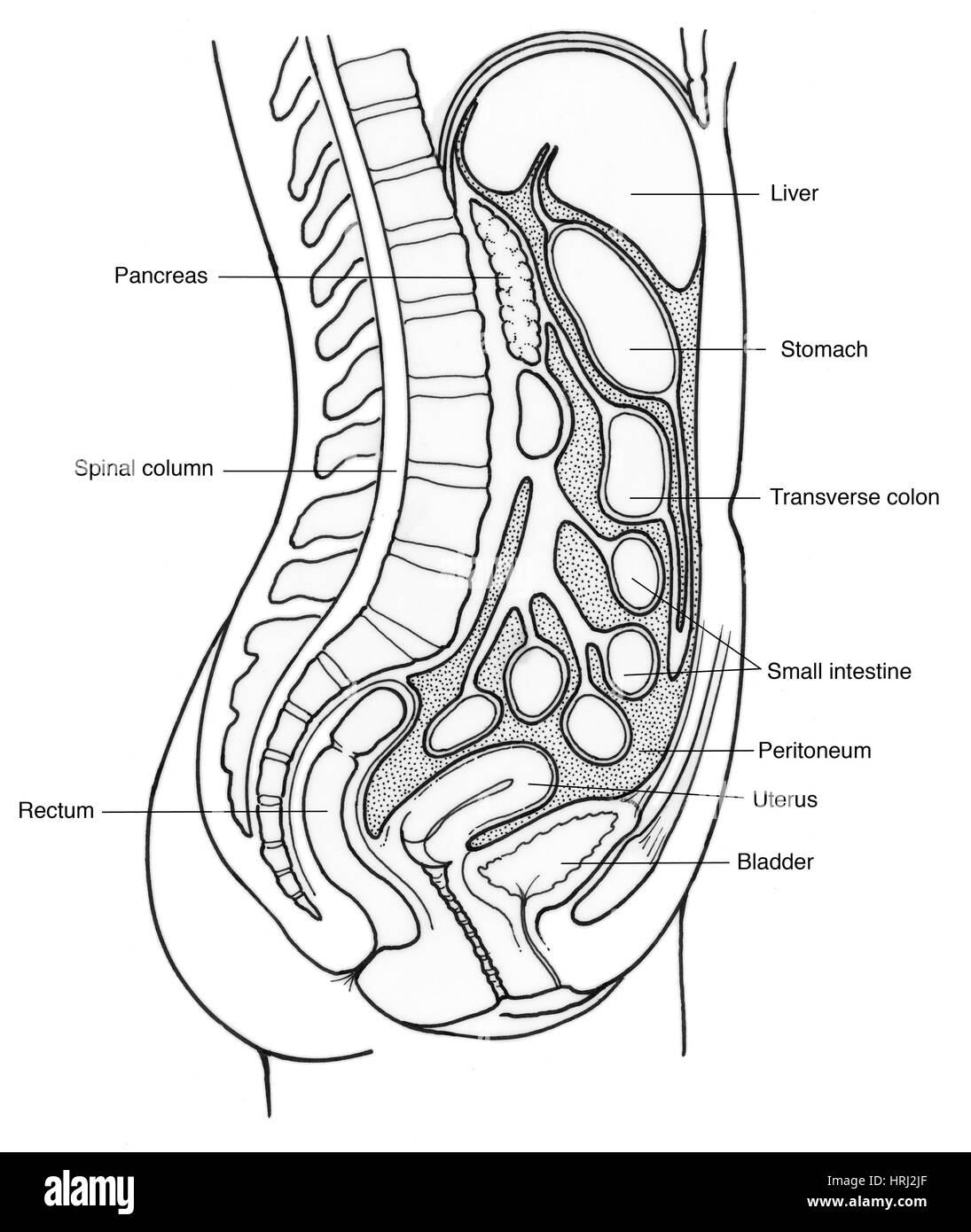 Ilustración de los órganos internos femeninos Foto & Imagen De Stock ...