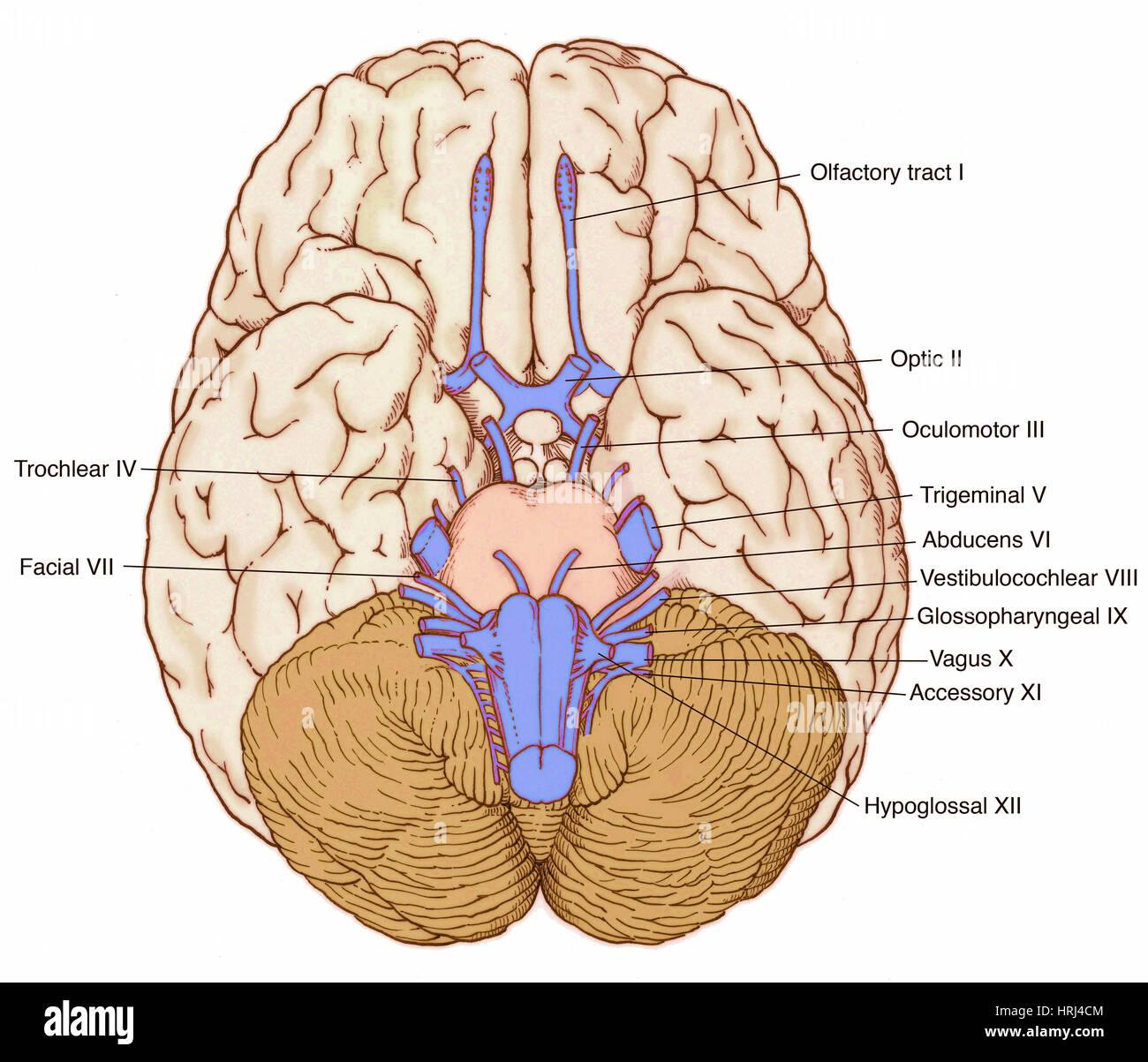 Ilustración de los nervios craneales Foto & Imagen De Stock ...