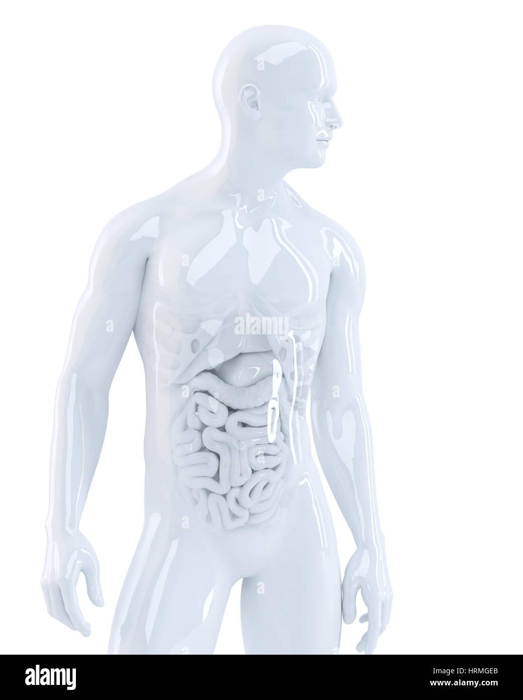 Cuerpo humano con los órganos internos. Ilustración 3d. Aislados ...