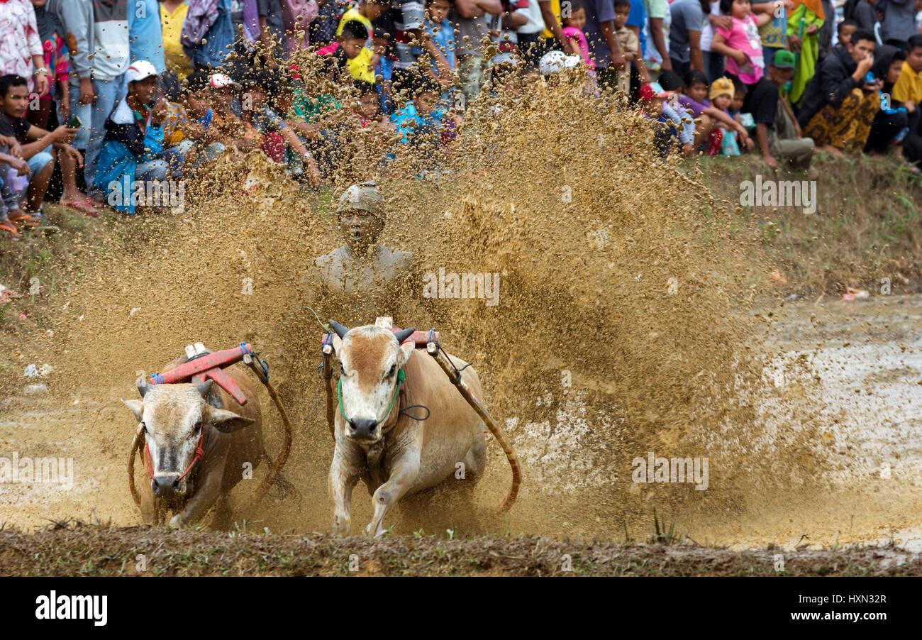 La tradición de barro racing sport Pacu Jawi vaca con multitud de espectadores. Imagen De Stock