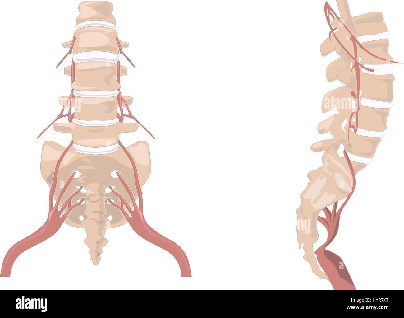 La columna vertebral. Diagrama de la columna vertebral. La columna ...