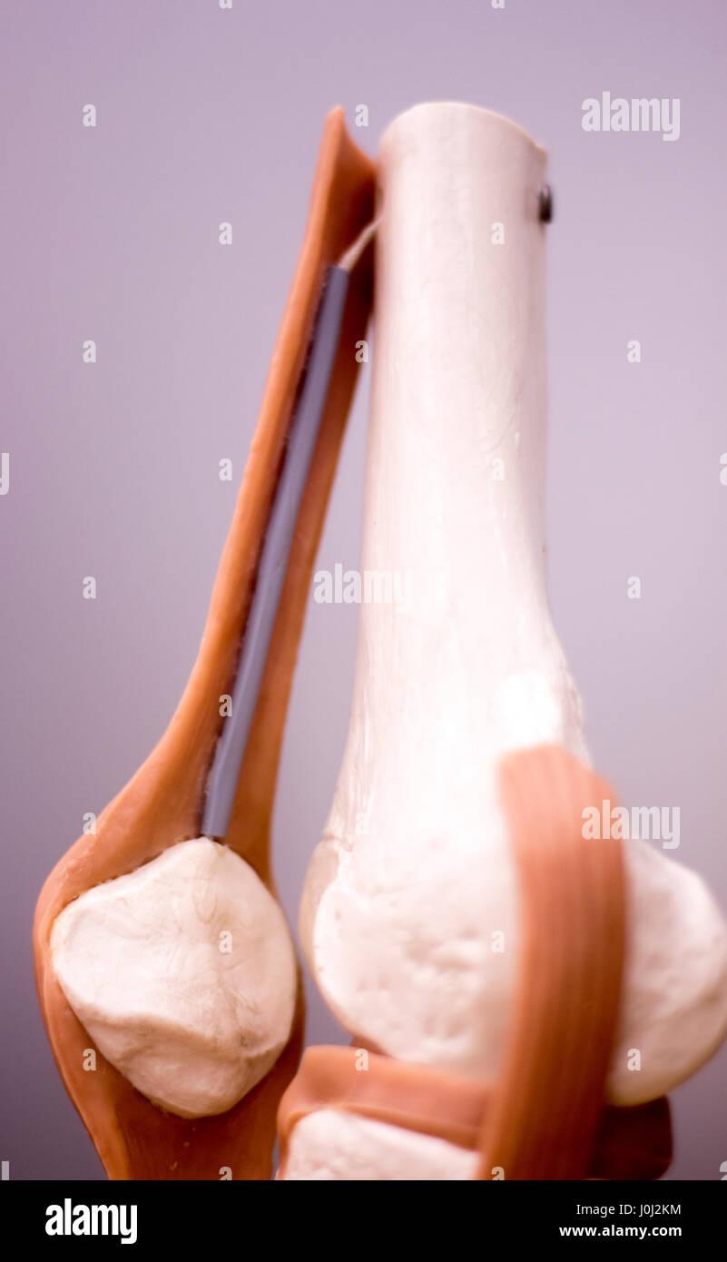 Rodilla y menisco estudio médico anatomía del estudiante modelo que ...