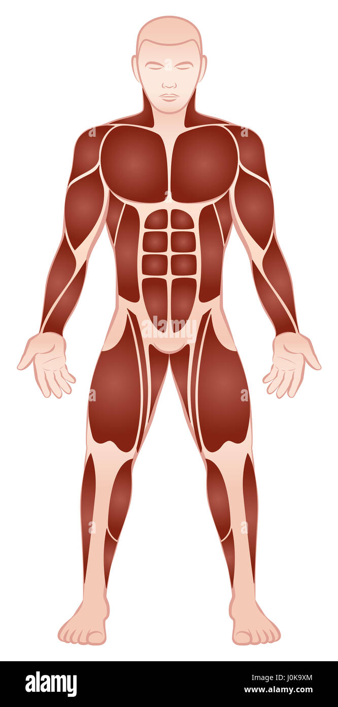 Grupos musculares de un culturista masculino con athletically ...