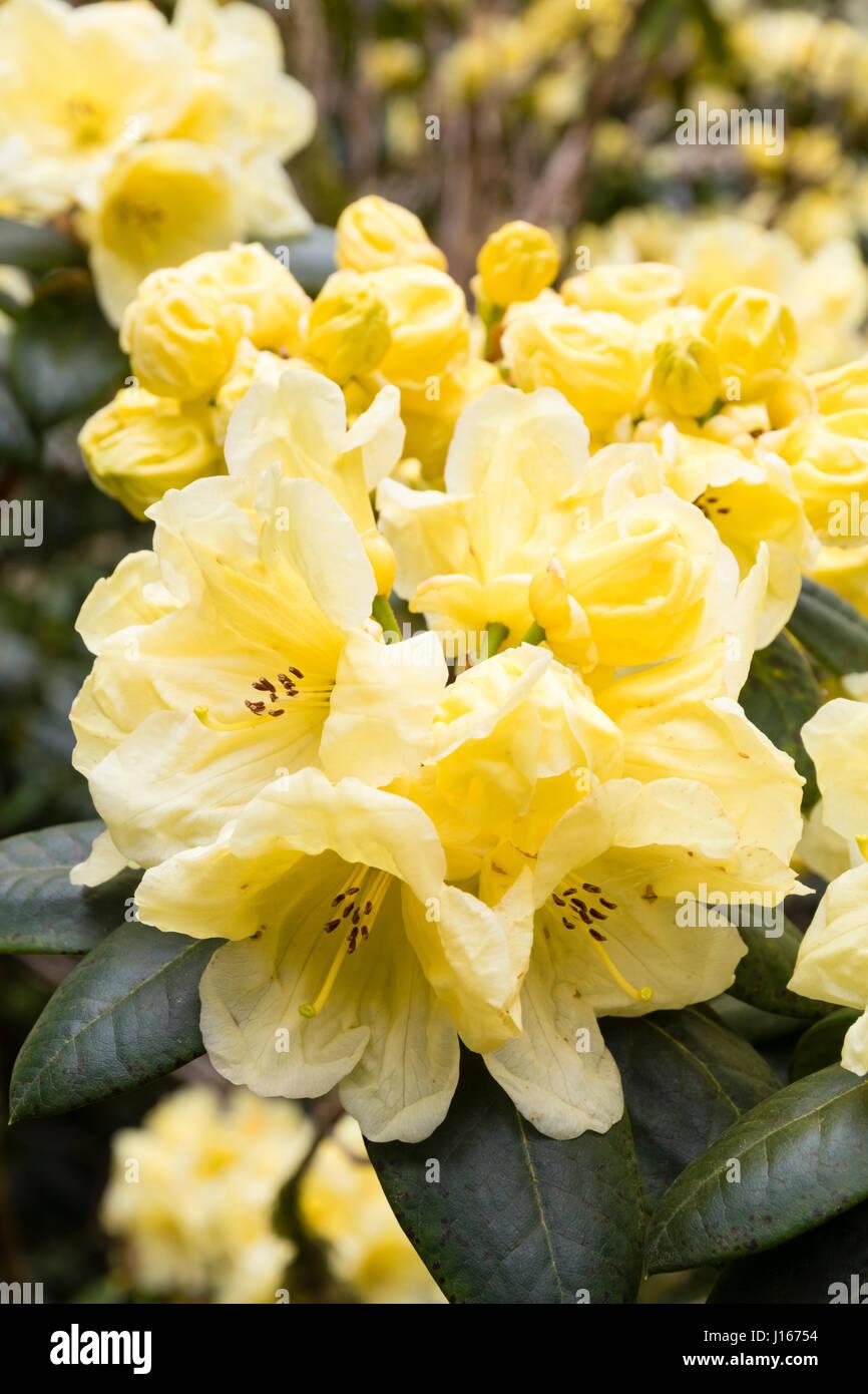 Flores de color limón pálido del resorte de hoja caduca de floración ...