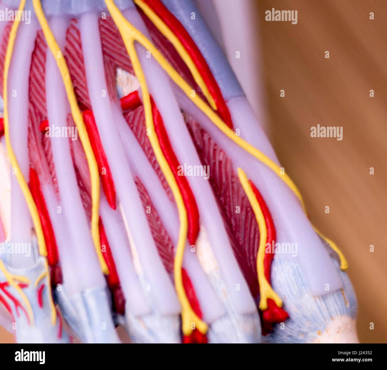 Pie Estudio médico anatomía del estudiante modelo que muestra los ...