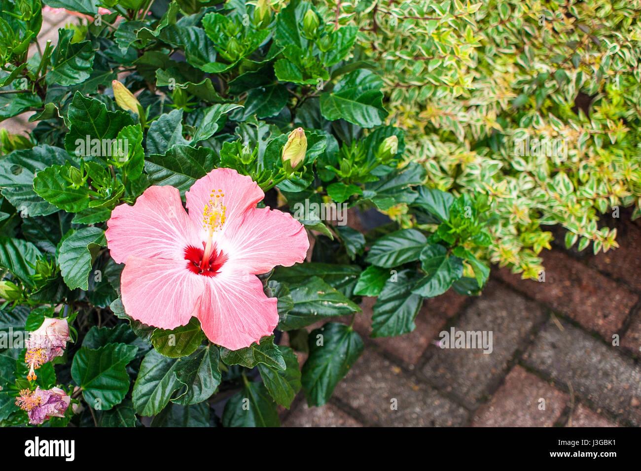 Increíble Flor Hawaiana Del Arte Del Uña Cresta - Ideas Para ...
