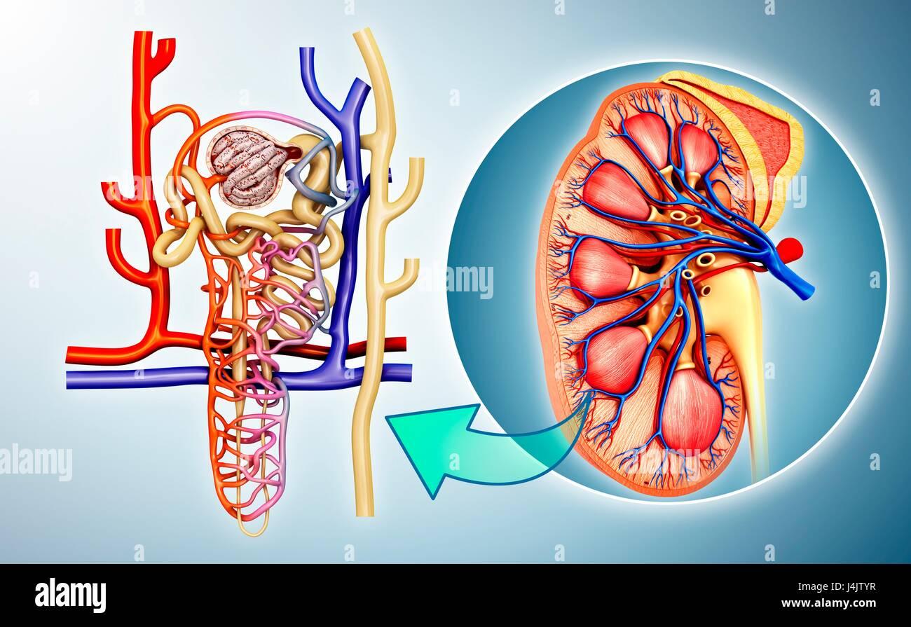 Ilustración de la estructura de la nefrona en el riñón Foto & Imagen ...