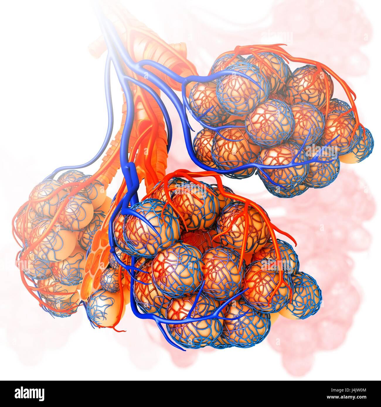 Ilustración de los capilares y los alvéolos de los pulmones Foto ...