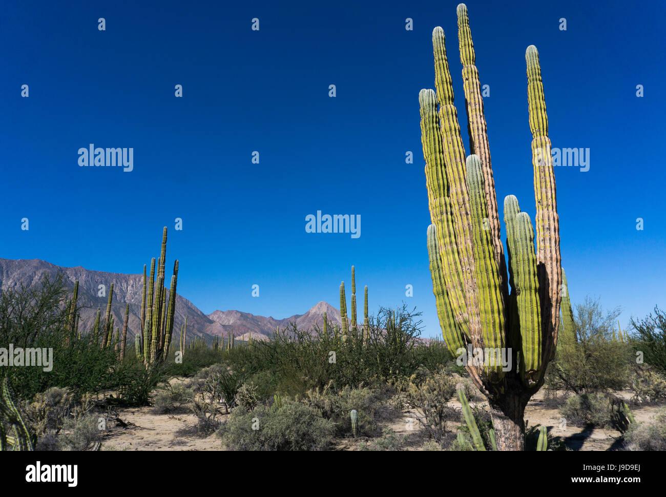 Cactus En El Seco Desierto Como Paisaje Baja California Mexico - Cactus-seco