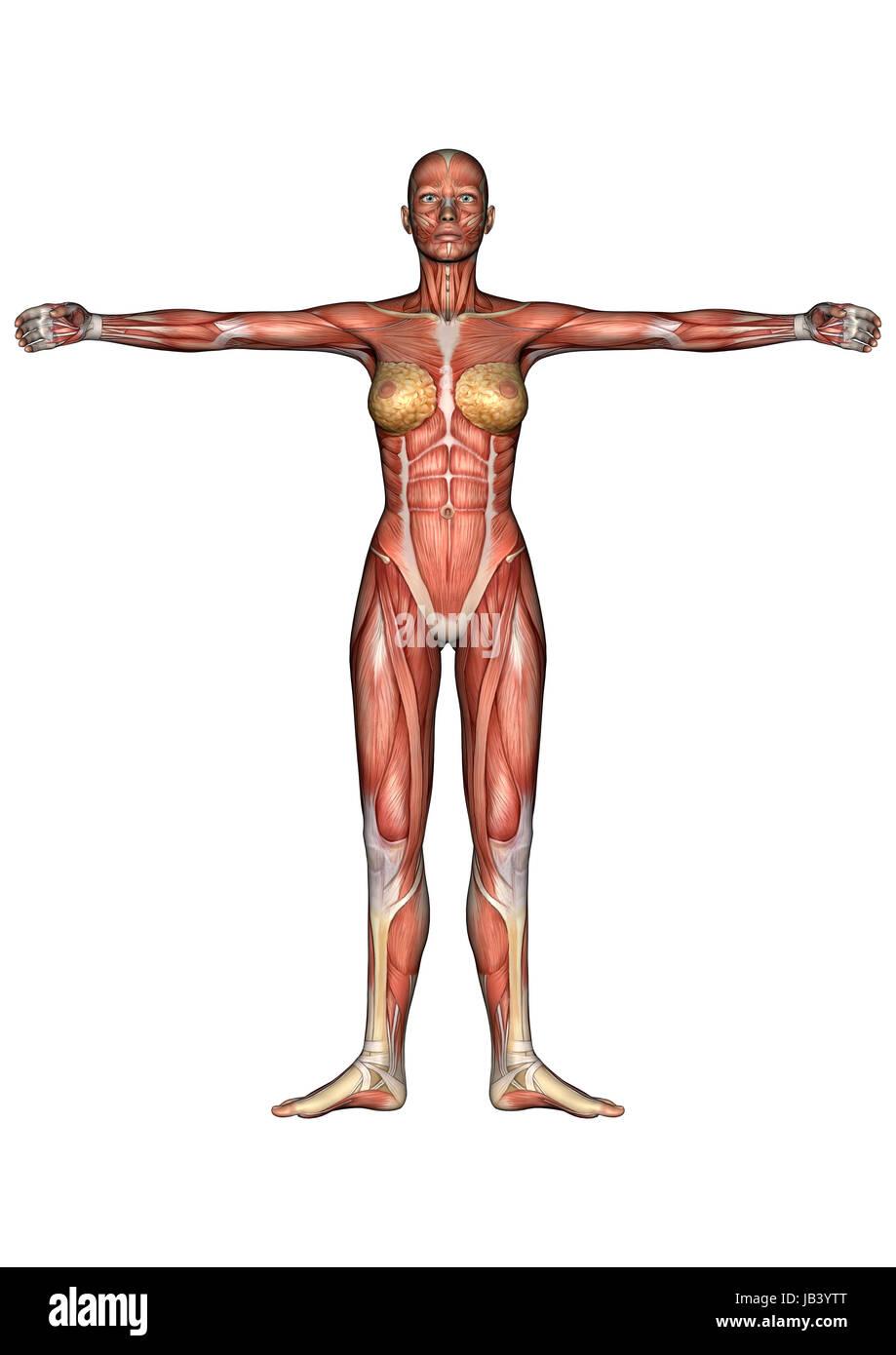 Procesamiento digital 3D de la anatomía femenina figura con músculos ...