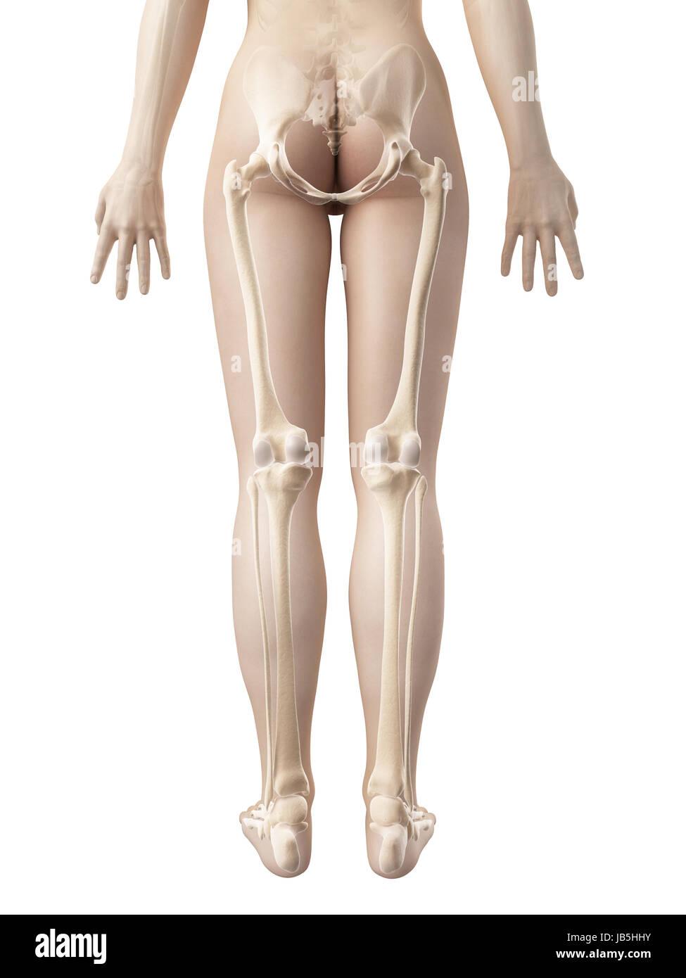 Los huesos de la pierna femenina Foto & Imagen De Stock: 144567751 ...