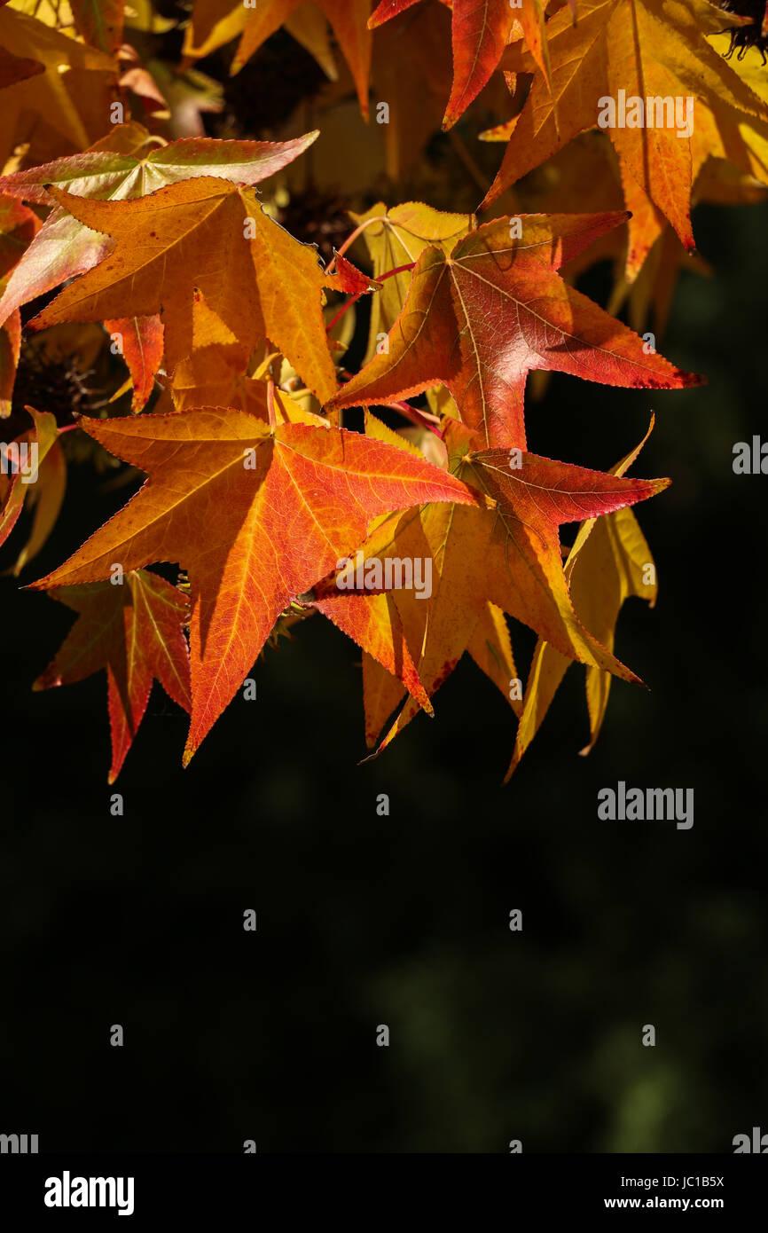 Las hojas de sicomoro color gira en el otoño, colgando de las ramas ...