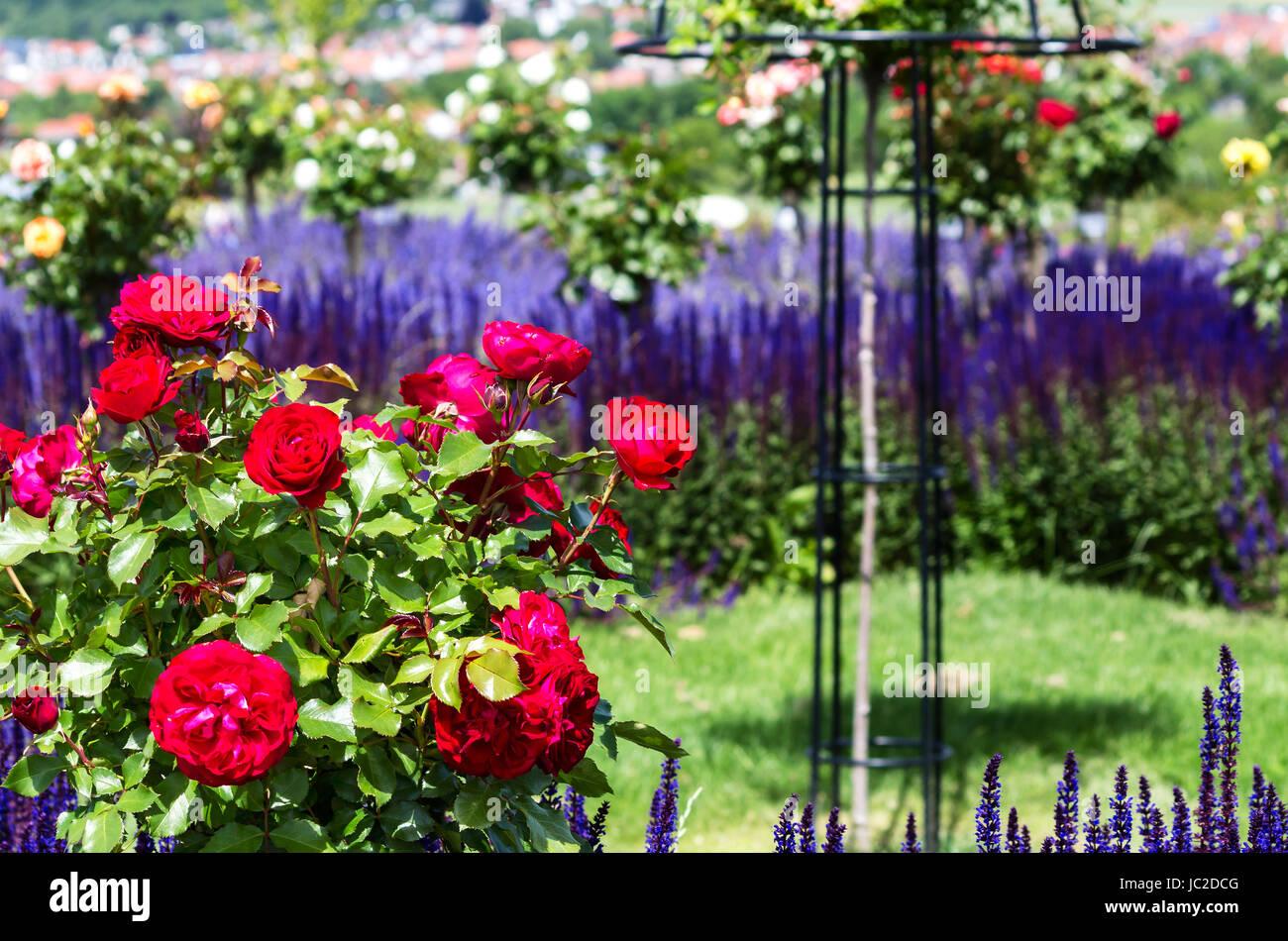 Rosas Rojas Y Azules Bush Salvia Nemorosa Floridas Ornamentales En