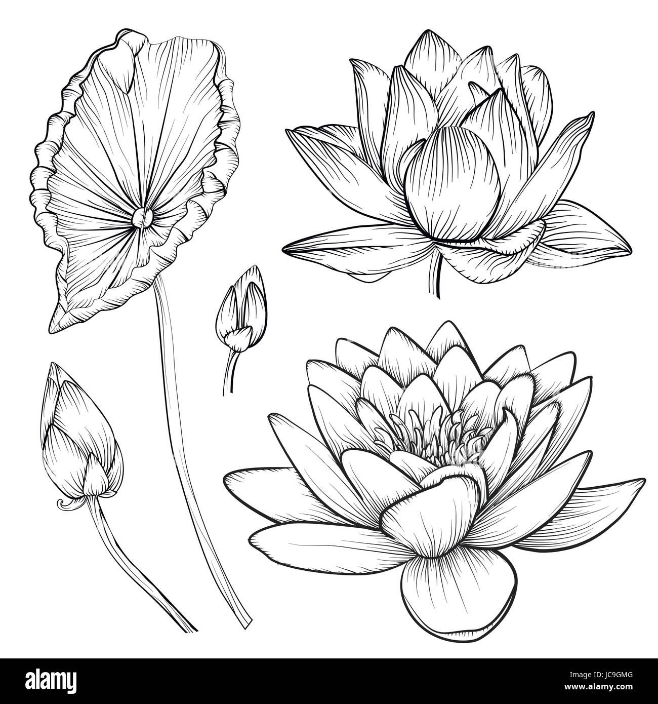 Lotus Nenúfar Hermosas Flores En Vectores Botones Ajustar La Línea