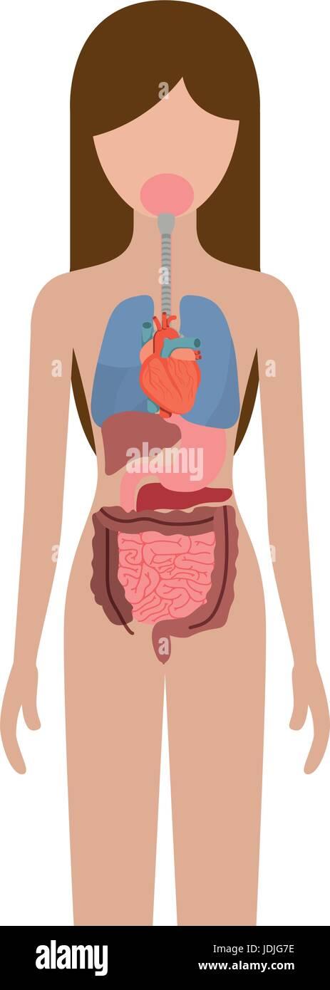 Asombroso Imagen De Los órganos Dentro Del Cuerpo Femenino Modelo ...