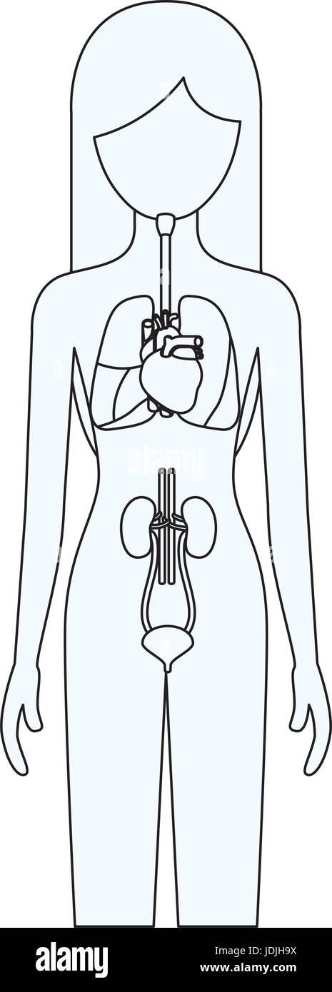 Fantástico Los órganos Internos Del Cuerpo Humano Imagen Femenina ...