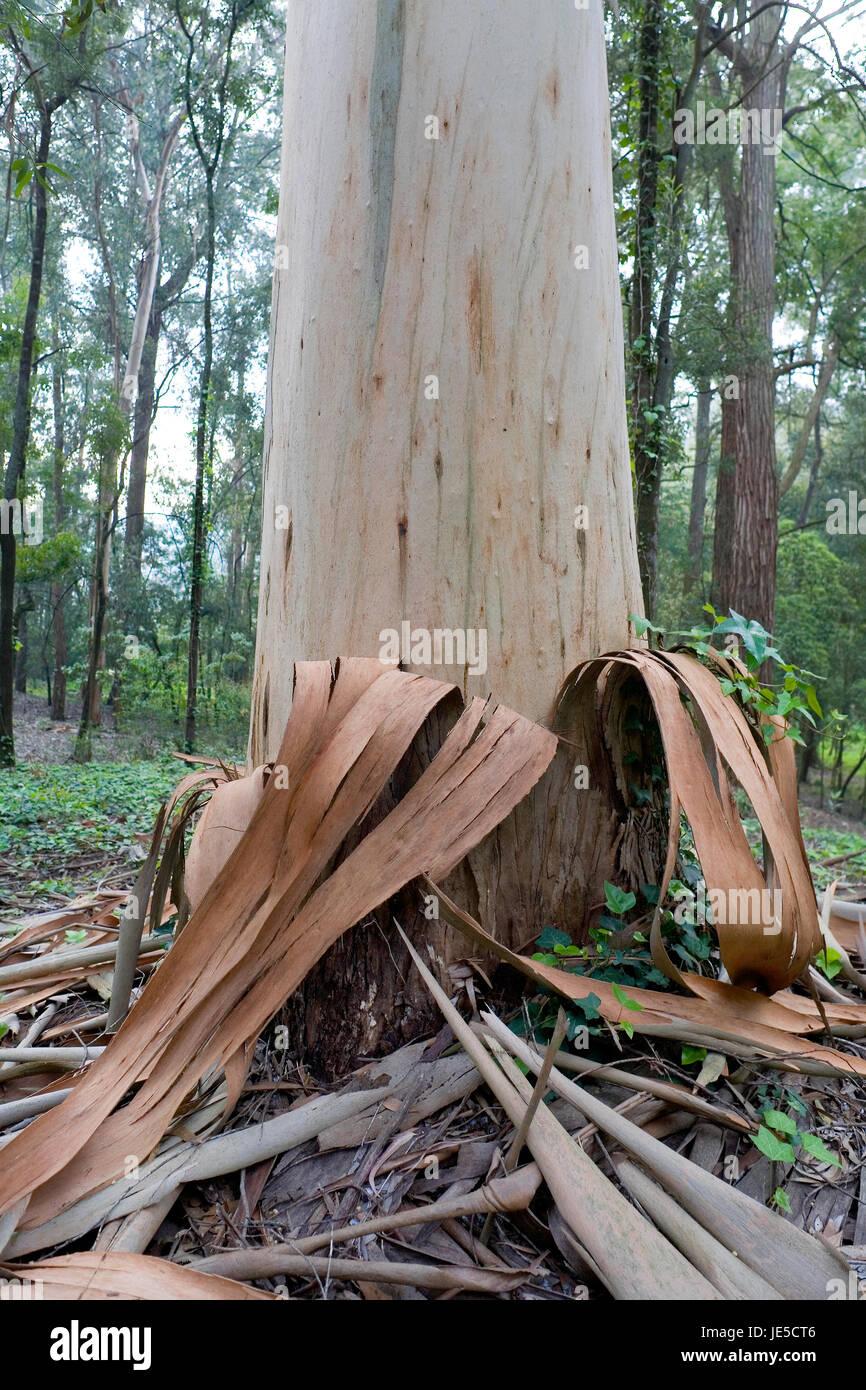 Resultado de imagen de tronco de eucalipto