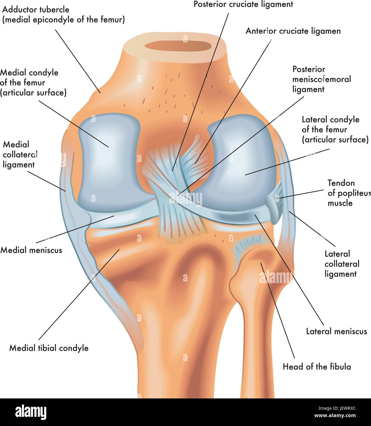 Las piernas, el menisco, rodillas, rodillas, piernas, muslos ...