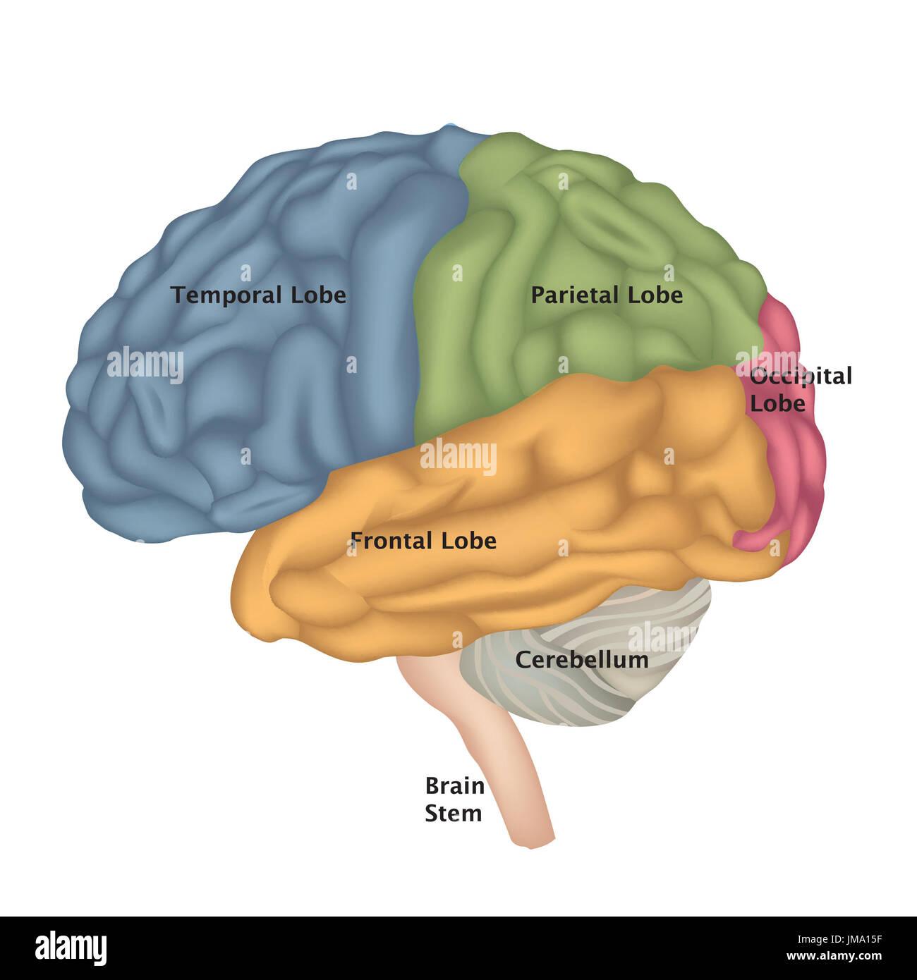 Anatomía del cerebro. cerebro humano vista lateral. Ilustración ...