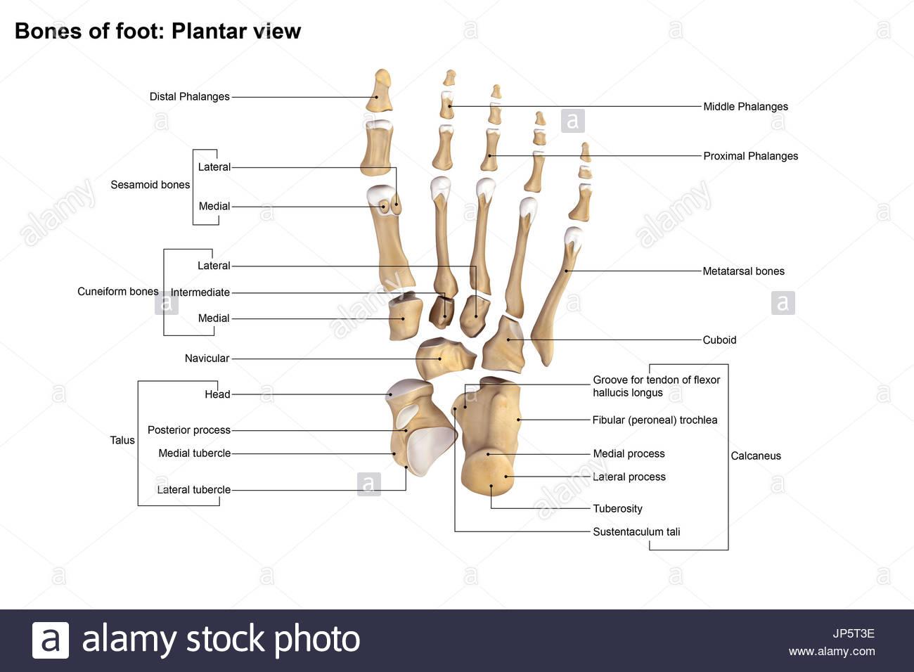 Los huesos del pie y tobillo humano Foto & Imagen De Stock ...