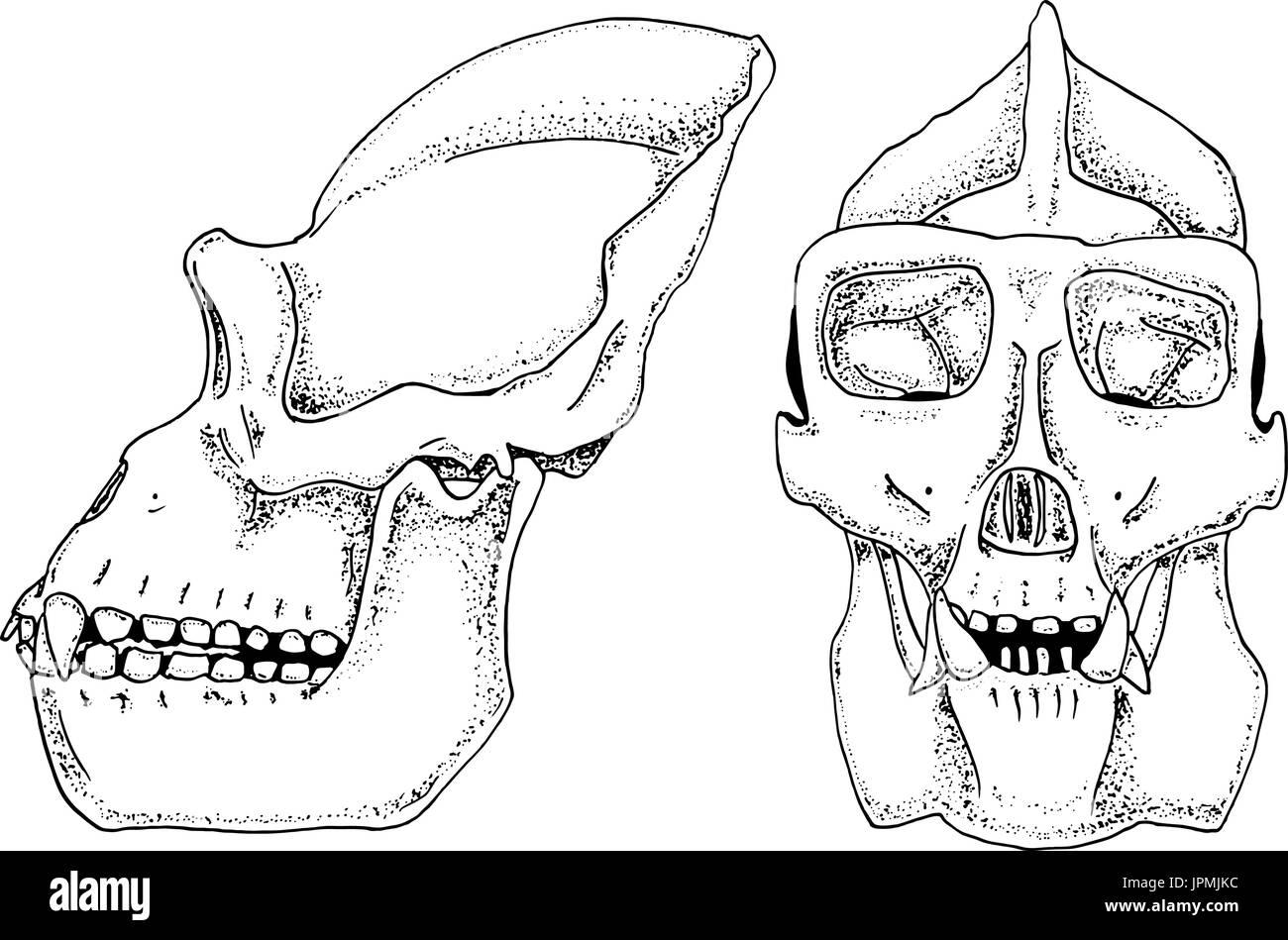 La biología, la anatomía del gorila ilustración. grabado dibujado a ...