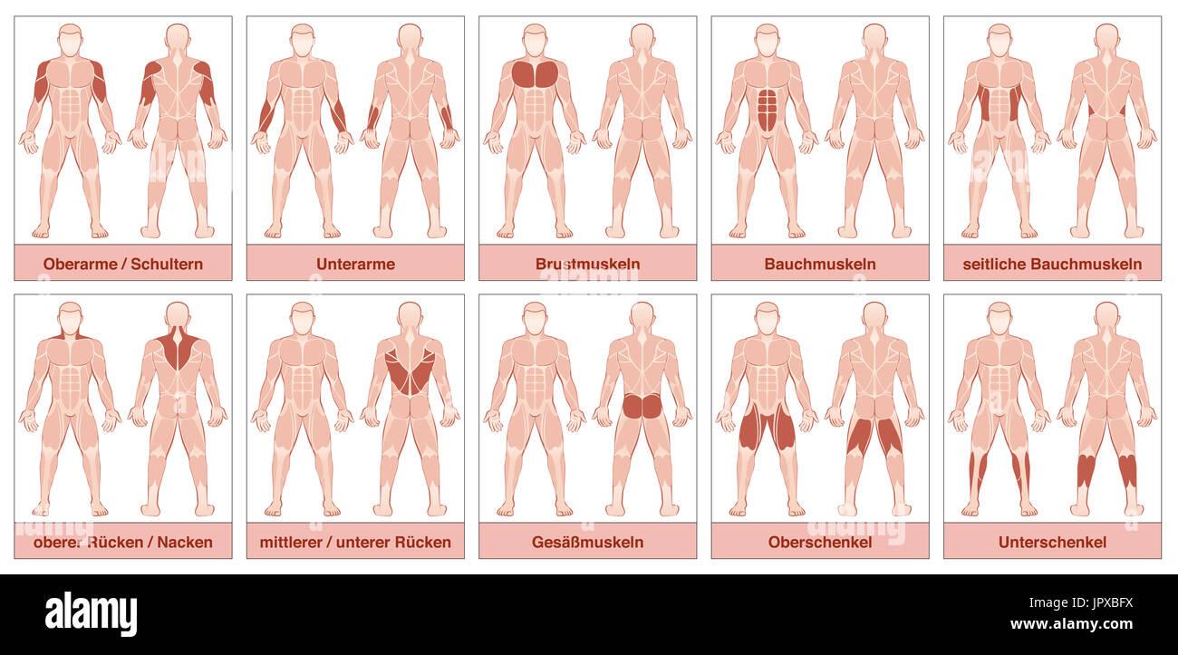 Gráfico muscular con nombres alemanes - cuerpo masculino con el ...