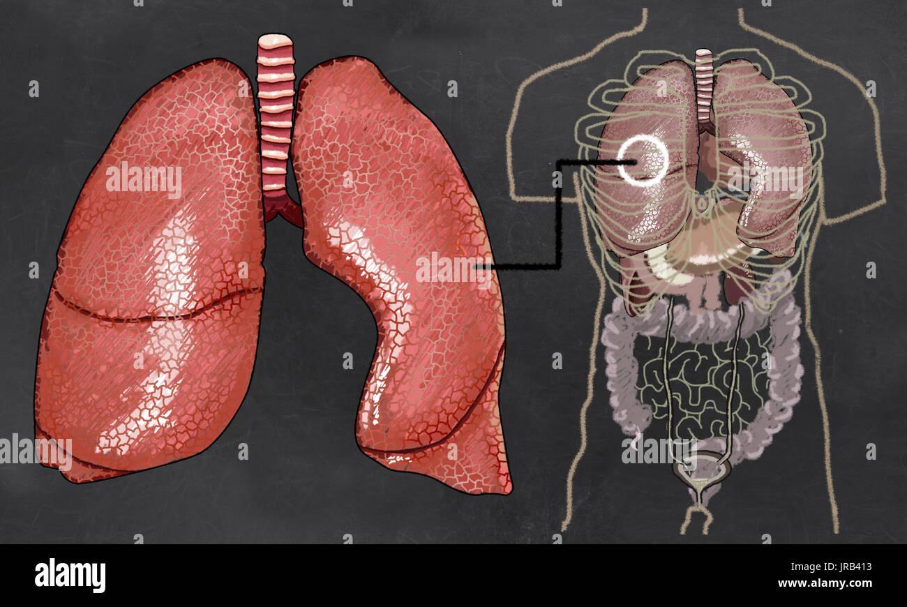 Anatomía del pulmón en pizarra en el clásico estilo de dibujo Foto ...