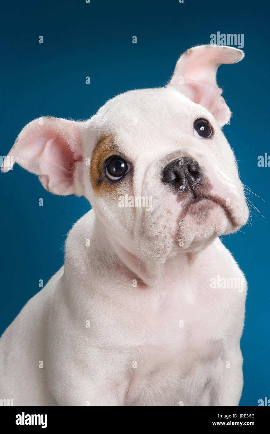 Blanco Cachorro Bulldog Marrón Con Parche En El Ojo Situación En