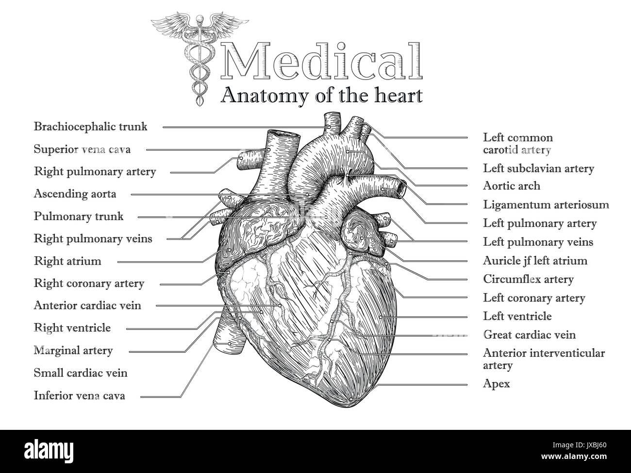 Anatómica del corazón humano carteles dibujados a mano con la ...