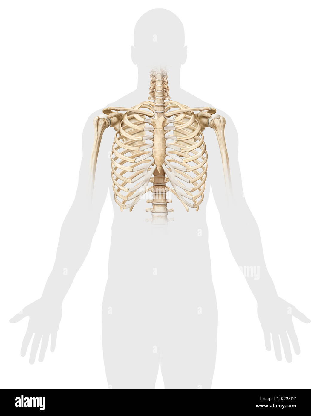 Estructura ósea, compuesto por 12 pares de costillas, 12 vértebras ...