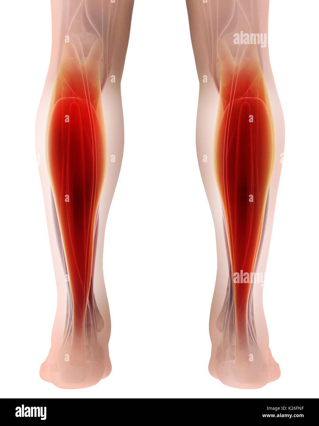 Ilustración 3d de gastrocnemio, parte de piernas anatomía muscular ...