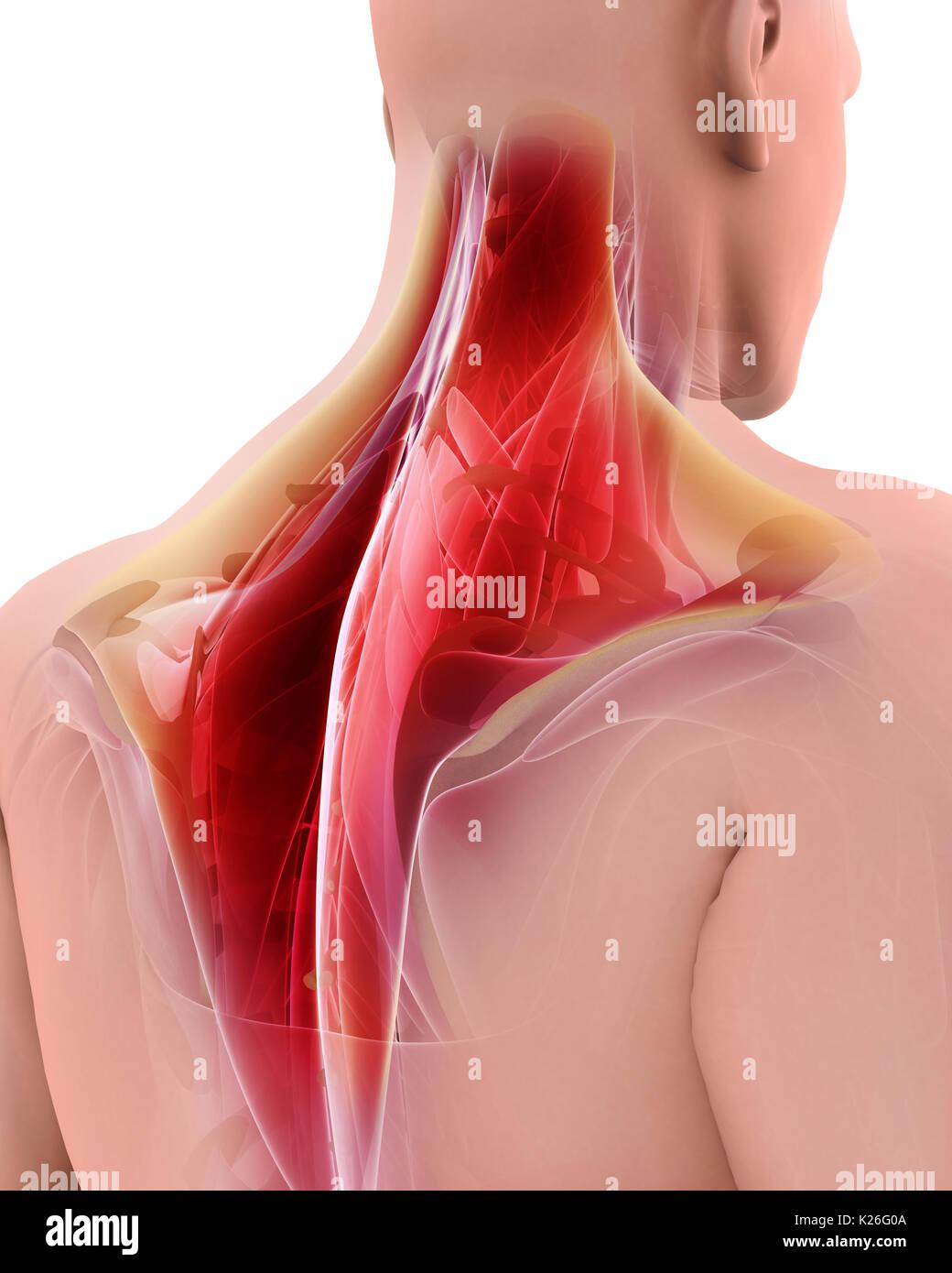 Ilustración 3d de trapecio, parte de la anatomía del músculo Foto ...