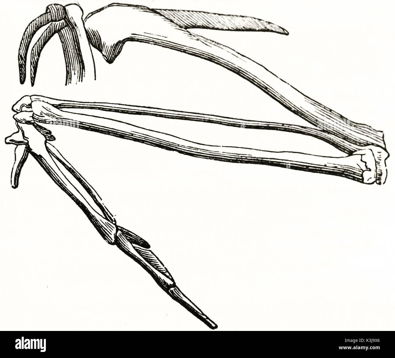 Antigua ilustración anatómica del ala estructura ósea. Por autor ...