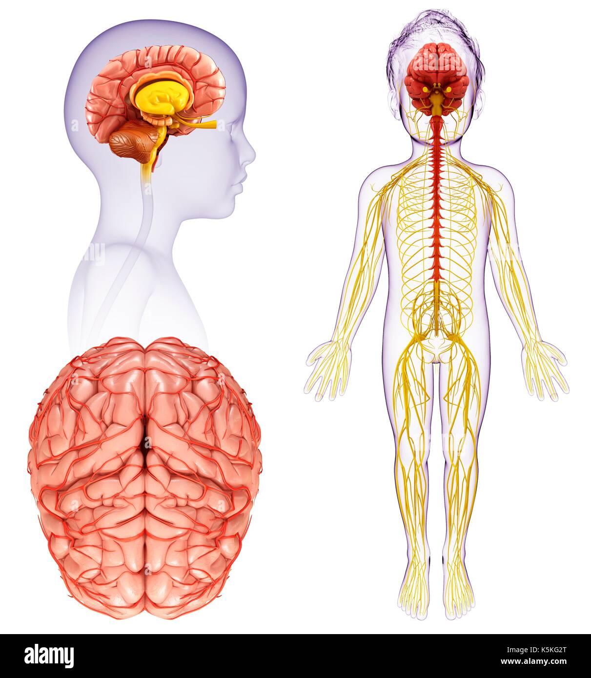 Ilustración de un niño el cerebro y la médula espinal anatomía Foto ...